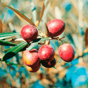 hojiblanca organic extra virgin olive oil