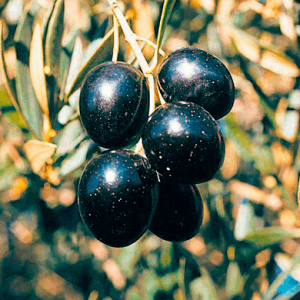 Picual Organic Extra Virgin Olive Oil